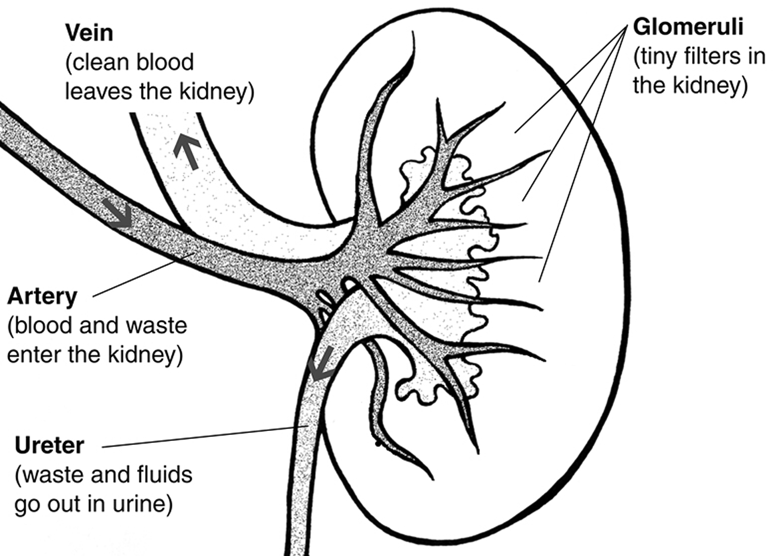 Kidney Black And White Diagram