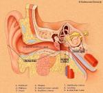 ear tissue
